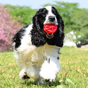 スプリンガー スパニエル イングリッシュ イングリッシュスプリンガー関東ブリーダー子犬情報 子犬販売スマイルわん