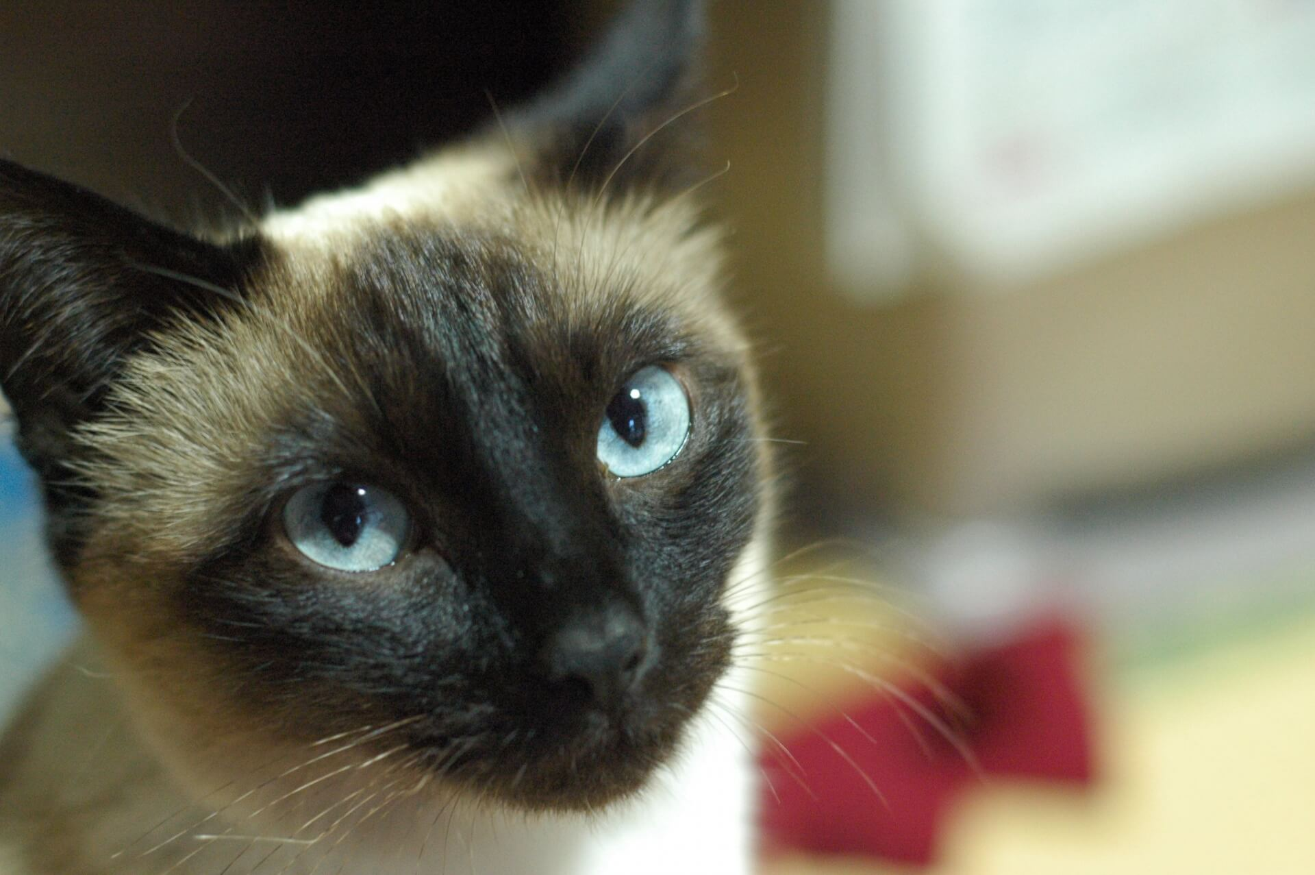 猫 性格 シャム 【オス/メス別】シャム猫の性格の特徴・性格に応じた飼い方
